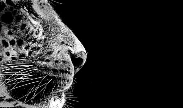 iv-tiger
